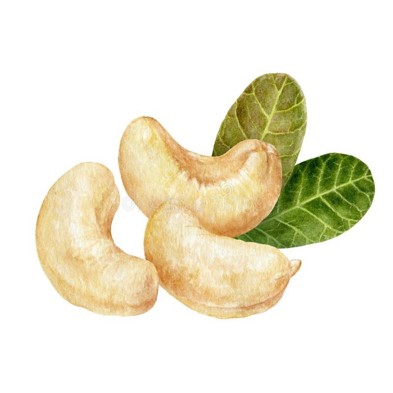 Χρώμα νερού σύνθεσης Cashew απομονωμένο σε λευκό φόντο ελεύθερη απεικόνιση δικαιώματος
