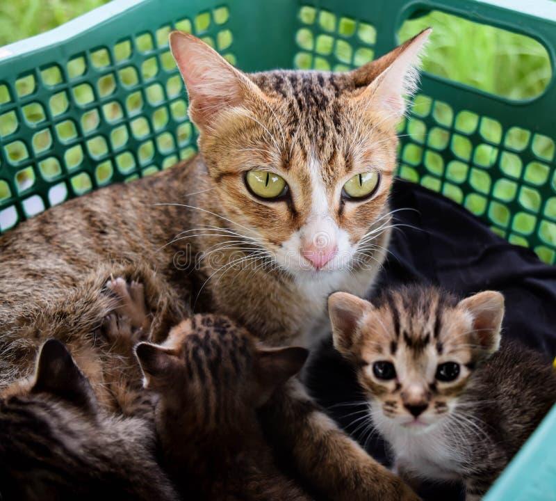 χρώμα οικογενειακών γατών καφετί στοκ φωτογραφία με δικαίωμα ελεύθερης χρήσης