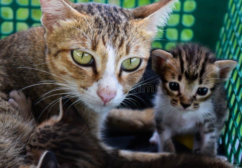 χρώμα οικογενειακών γατών καφετί στοκ φωτογραφία