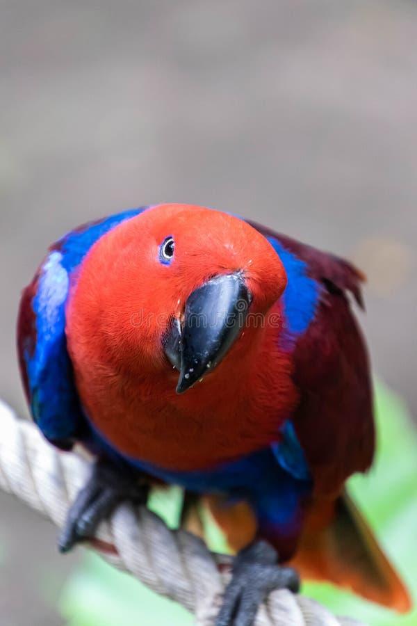 Χρώμα του παπαγάλου Eclectus στοκ εικόνες
