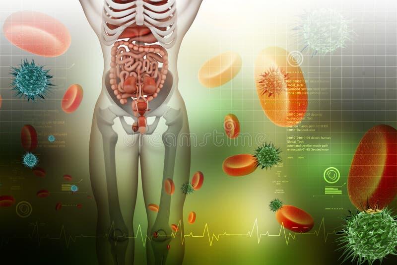χωνευτικό ανθρώπινο σύστη&mu απεικόνιση αποθεμάτων