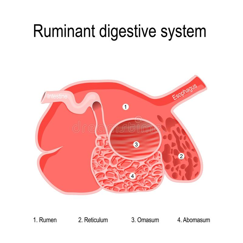 Χωνευτικό σύστημα μηρυκαστικών τέσσερα διαμερίσματα του στομαχιού των μηρυκαστικών διανυσματική απεικόνιση