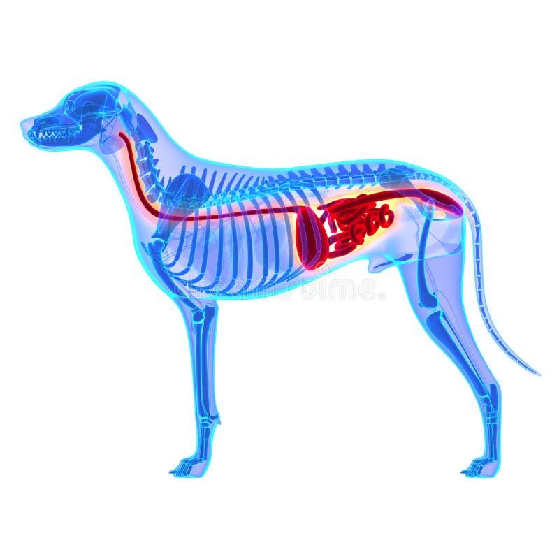 Χωνευτικό σύστημα σκυλιών - ανατομία Familiaris Λύκου Canis - που απομονώνεται απεικόνιση αποθεμάτων