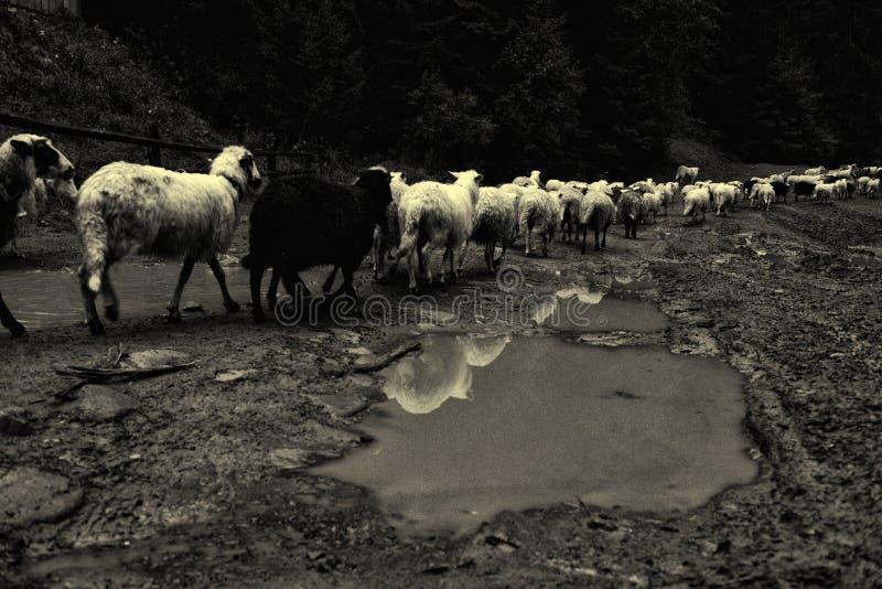 Χωρικοί που συγκεντρώνουν τα πρόβατα στοκ εικόνα