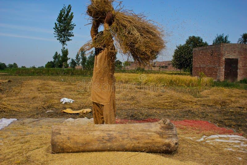 Χωρισμός των σιταριών ρυζιού στοκ εικόνα
