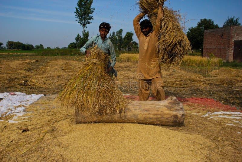 Χωρισμός των σιταριών ρυζιού στοκ φωτογραφίες