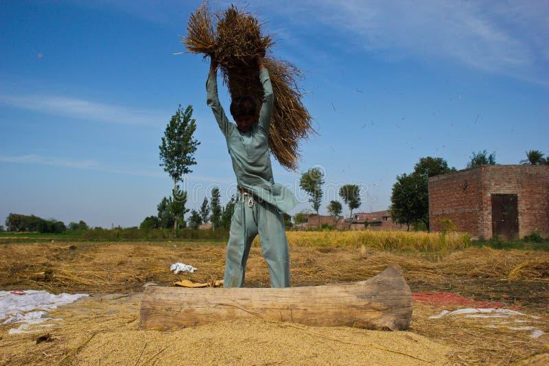 Χωρισμός των σιταριών ρυζιού στοκ φωτογραφία με δικαίωμα ελεύθερης χρήσης