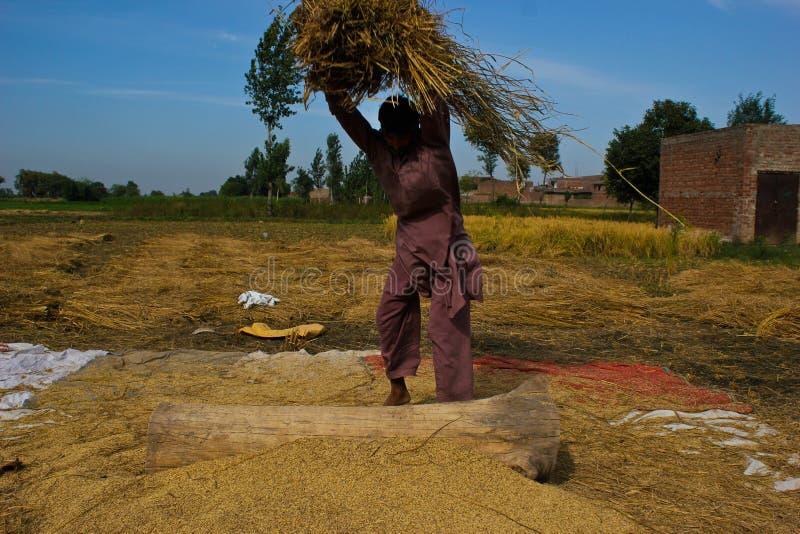 Χωρισμός των σιταριών ρυζιού στοκ εικόνα με δικαίωμα ελεύθερης χρήσης
