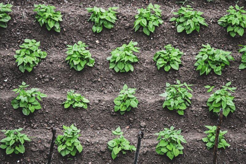 Χώμα με την καλλιέργεια της σαλάτας στοκ εικόνες