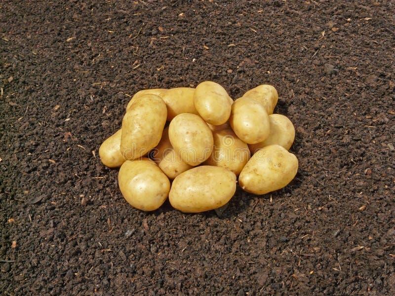 Download χώμα πατατών στοκ εικόνα. εικόνα από άμυλο, υγιής, βολβοί - 13189703