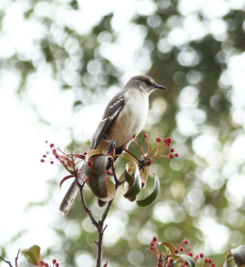 Χλευάζοντας πουλί στοκ εικόνες