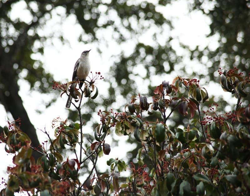 Χλευάζοντας πουλί στοκ φωτογραφίες