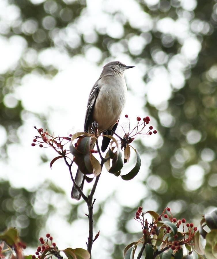 Χλευάζοντας πουλί στοκ εικόνες με δικαίωμα ελεύθερης χρήσης