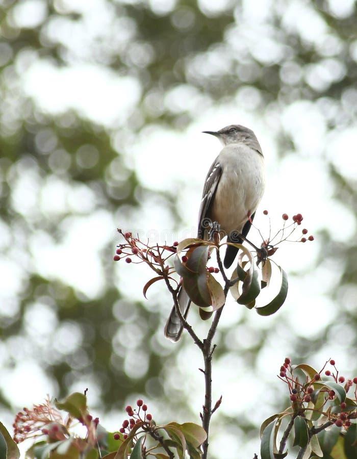 Χλευάζοντας πουλί στοκ εικόνα