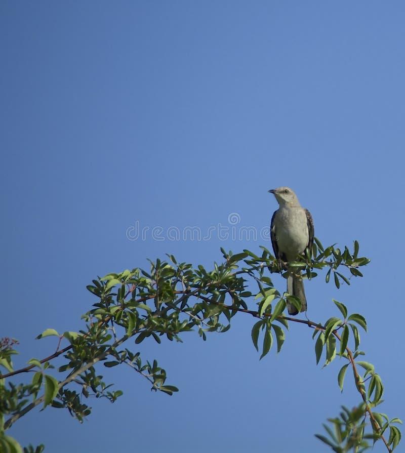 χλευασμός πουλιών στοκ εικόνες