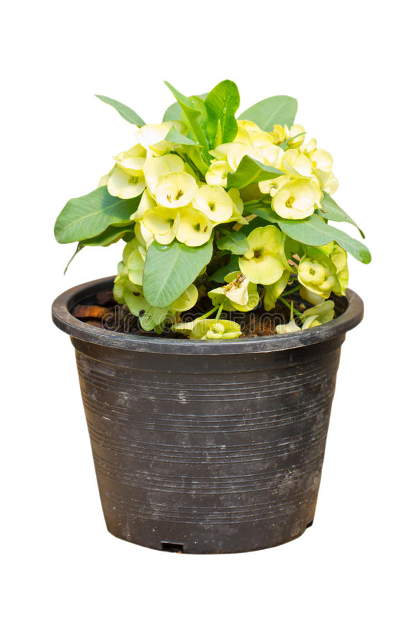 Χλωμιάστε - κίτρινη κορώνα του λουλουδιού αγκαθιών, ευφορβία Milli Desmoul. στοκ εικόνα με δικαίωμα ελεύθερης χρήσης