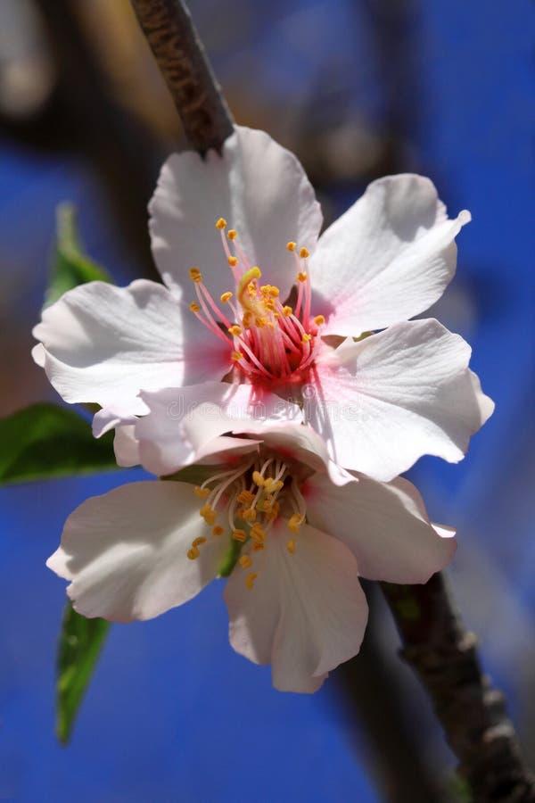 Χλωμιάστε - ρόδινο αμύγδαλο λουλουδιών στενό στοκ φωτογραφίες