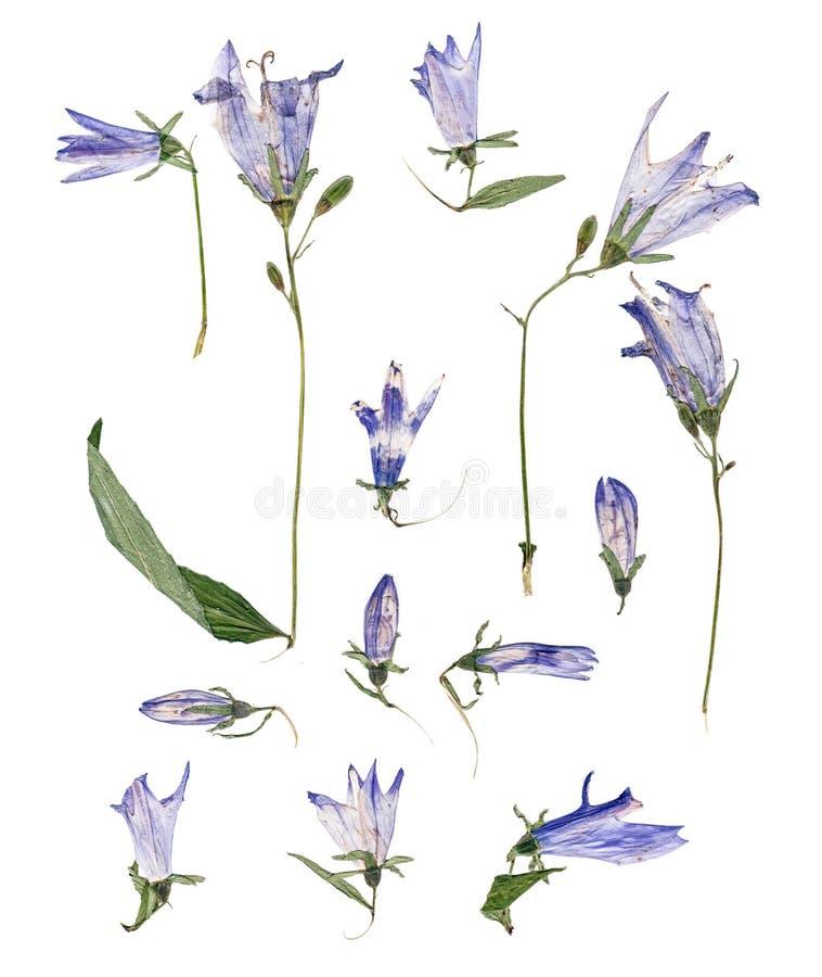 Χλωμιάστε - campanula που πιέζεται μπλε απεικόνιση αποθεμάτων