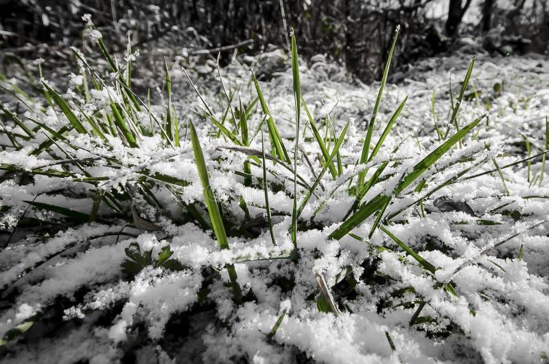 Χλόη στο χιόνι στοκ φωτογραφίες