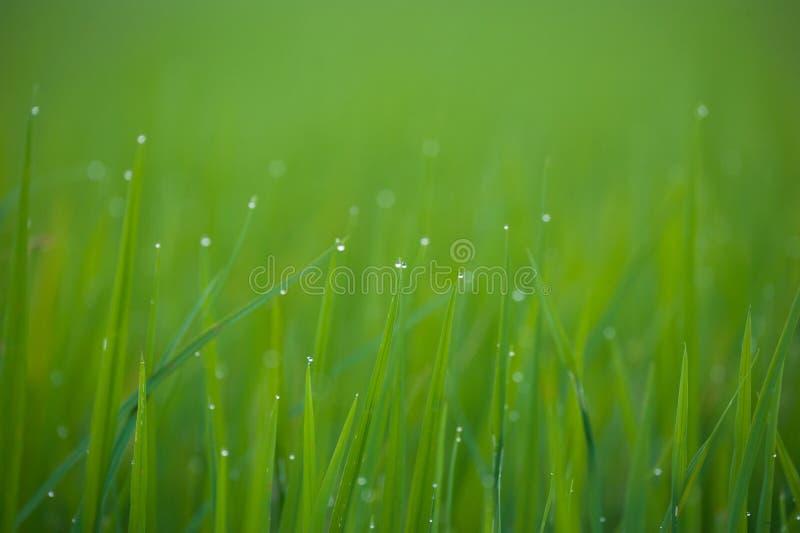Χλόη Φρέσκια πράσινη χλόη άνοιξη με την κινηματογράφηση σε πρώτο πλάνο πτώσεων δροσιάς στρέψτε μαλακό στοκ φωτογραφία