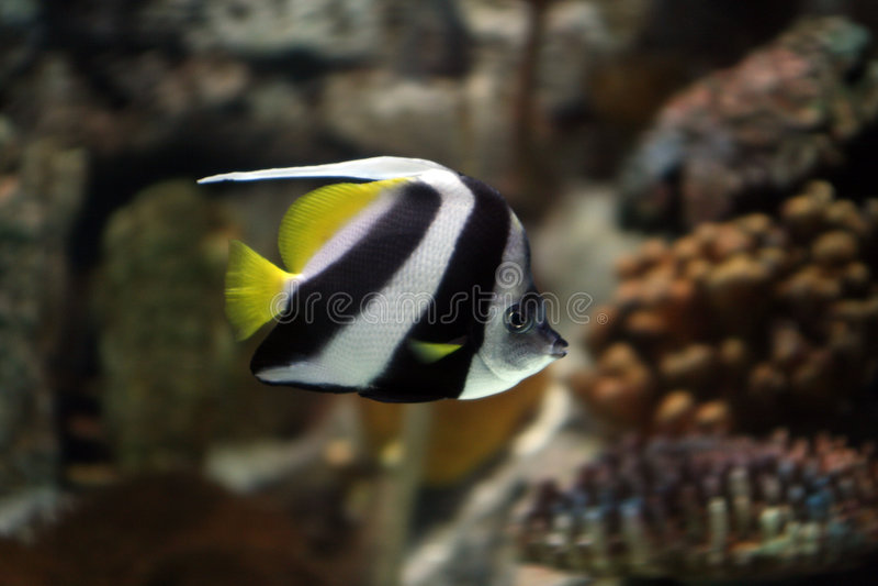 ψάρια αγγέλου στοκ εικόνες με δικαίωμα ελεύθερης χρήσης