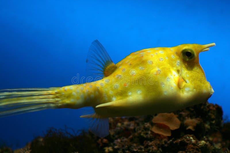 ψάρια αγελάδων κίτρινα στοκ εικόνες με δικαίωμα ελεύθερης χρήσης