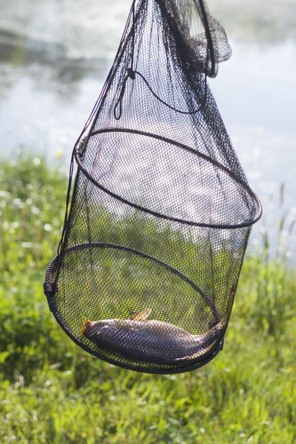 Ψάρια αλιειών με τον κυπρίνο στη μέση ενάντια στο σκηνικό ενός λιβαδιού και μιας λίμνης στοκ εικόνα