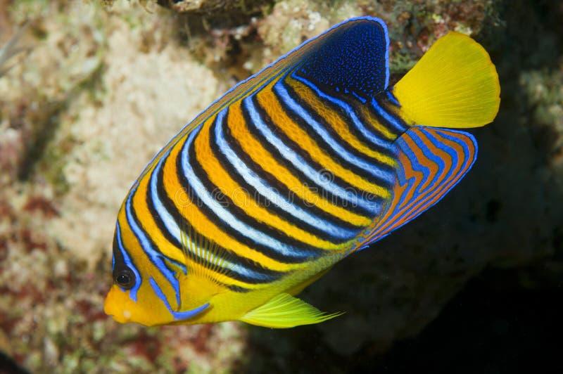 ψάρια αυτοκρατόρων μωρών α&gam στοκ φωτογραφία με δικαίωμα ελεύθερης χρήσης