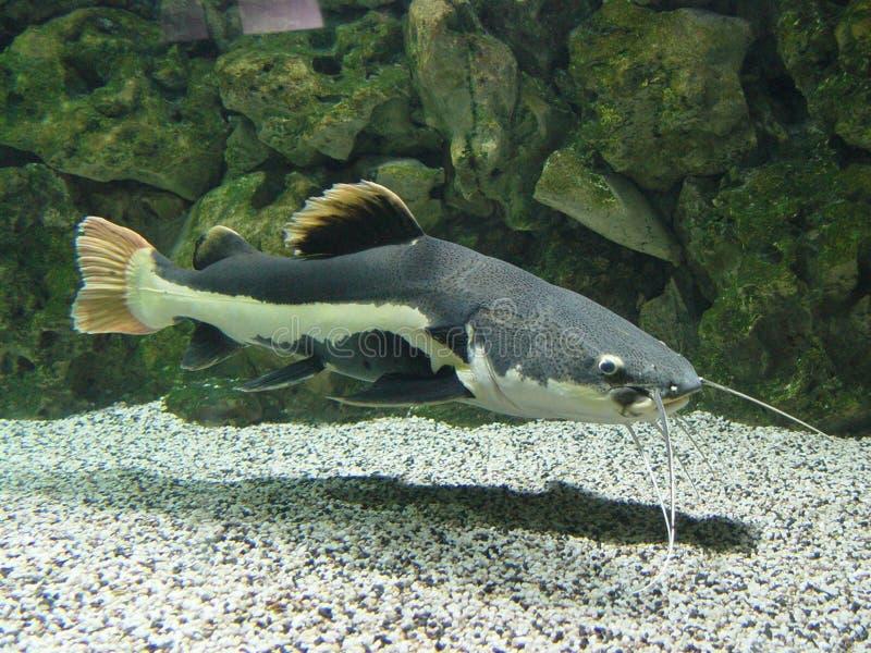 ψάρια γενειάδων μακριά