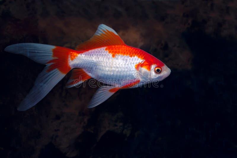 ψάρια διακοσμητικά στοκ φωτογραφία με δικαίωμα ελεύθερης χρήσης