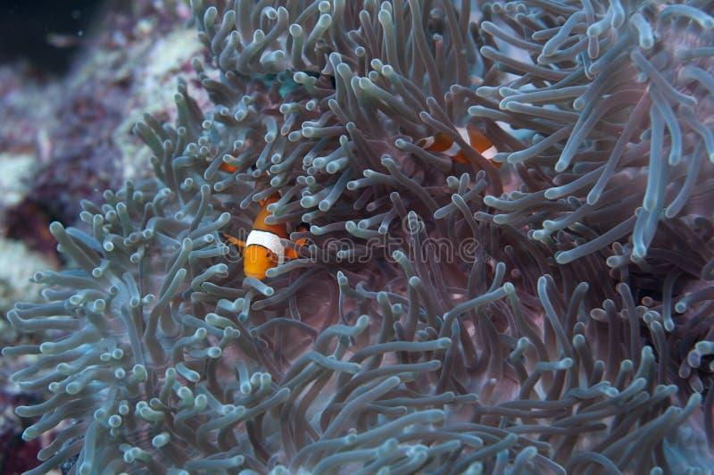 ψάρια δύο anemone στοκ εικόνα με δικαίωμα ελεύθερης χρήσης