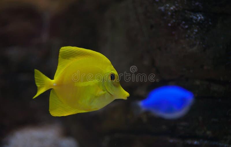 Ψάρια ενυδρείων αλατισμένου νερού Zebrasoma στοκ φωτογραφίες με δικαίωμα ελεύθερης χρήσης