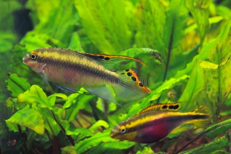 Ψάρια ενυδρείων cichlid στοκ φωτογραφίες με δικαίωμα ελεύθερης χρήσης