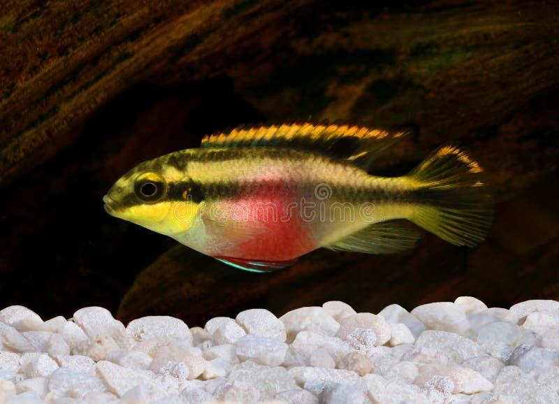 Ψάρια ενυδρείων kribensis Pelvicachromis pulcher cichlid στοκ φωτογραφίες