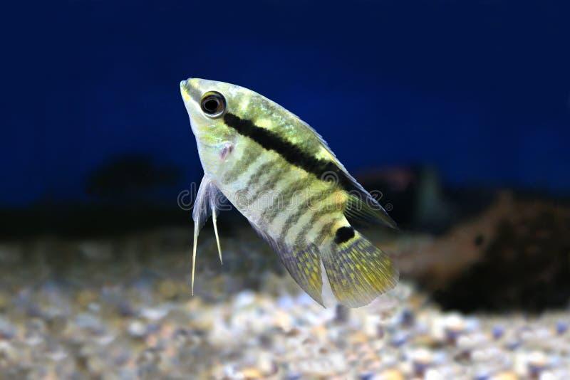 Ψάρια εορταστικό Cichlid, φραγμένο festivus Cichlid Festivum Cichlid Mesonauta στοκ φωτογραφία με δικαίωμα ελεύθερης χρήσης