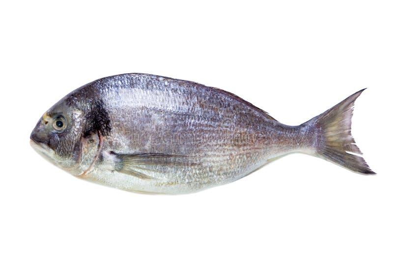 Ψάρια θάλασσας dorade που απομονώνονται στο λευκό στοκ εικόνα