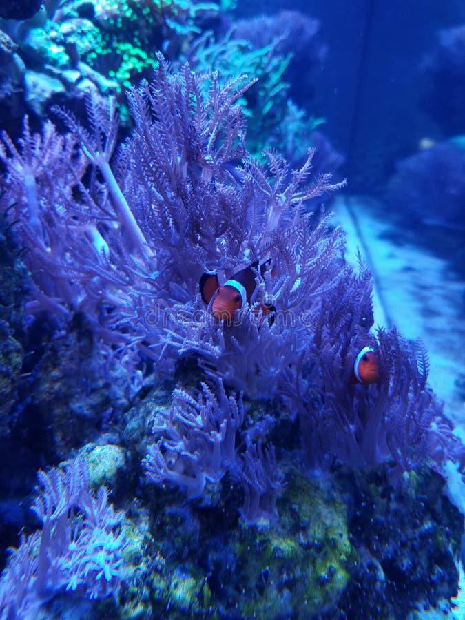 Ψάρια και anemone κλόουν στοκ εικόνες με δικαίωμα ελεύθερης χρήσης