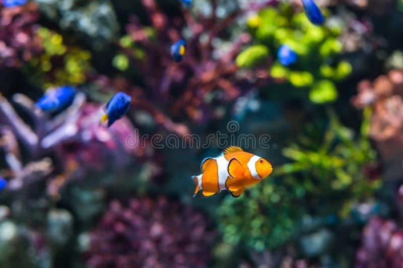 Ψάρια κλόουν στοκ φωτογραφία