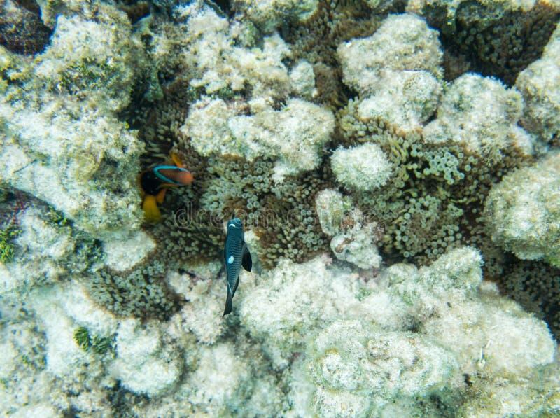 Ψάρια κλόουν και δεσποινάριο ντόμινο στοκ εικόνες με δικαίωμα ελεύθερης χρήσης