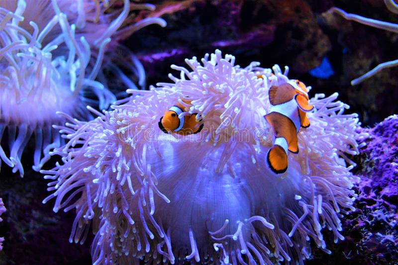 Ψάρια κλόουν που προφυλάσσονται στο anemone τους στοκ εικόνα