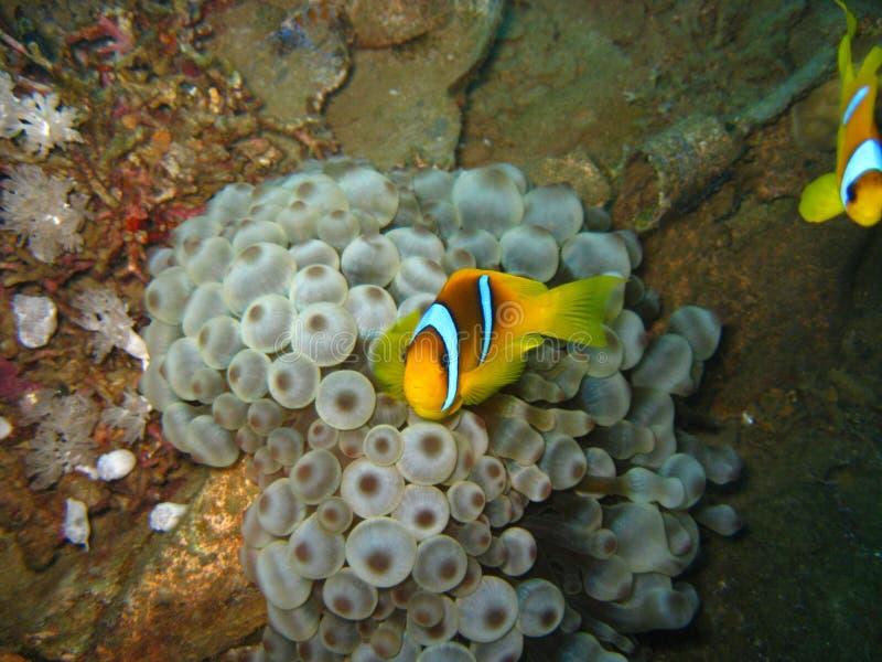 Ψάρια κλόουν συντριμμιών Δ Giannis στοκ φωτογραφίες με δικαίωμα ελεύθερης χρήσης