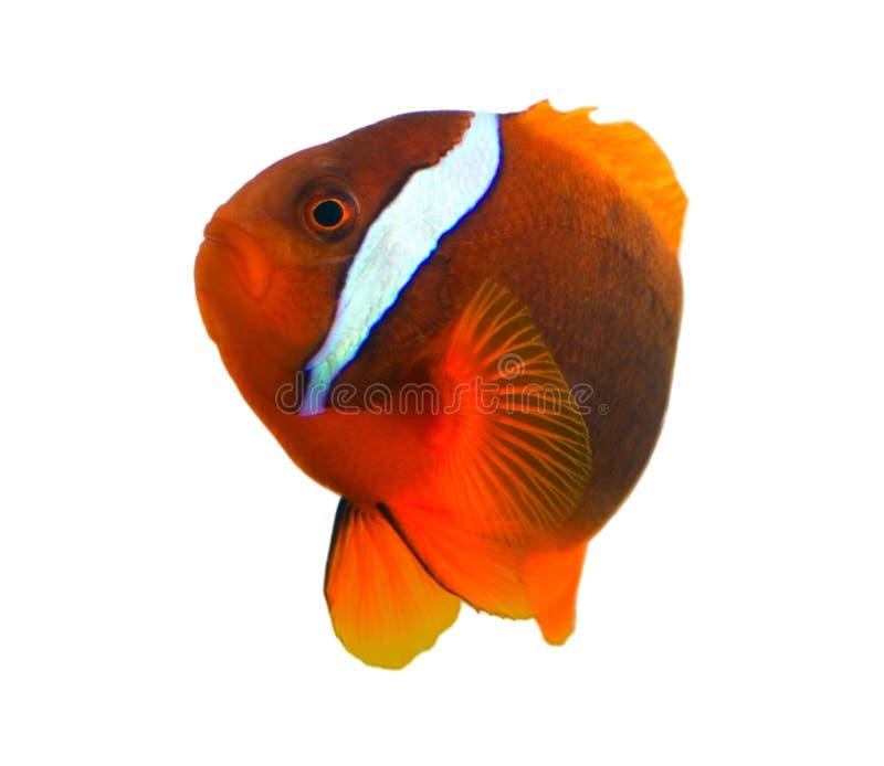 Download ψάρια κλόουν τροπικά στοκ εικόνα. εικόνα από πορτοκάλι, ψάρια - 50155