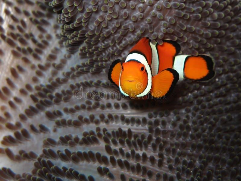 ψάρια κλόουν στοκ φωτογραφίες με δικαίωμα ελεύθερης χρήσης