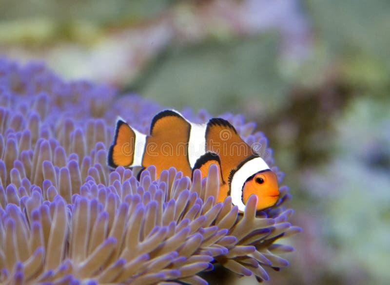 ψάρια κλόουν στοκ εικόνα με δικαίωμα ελεύθερης χρήσης