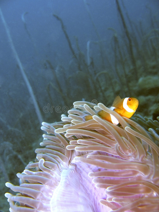 ψάρια κλόουν anemone στοκ φωτογραφία με δικαίωμα ελεύθερης χρήσης
