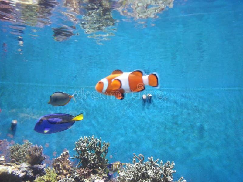 Ψάρια κοραλλιών στην αιχμαλωσία στοκ φωτογραφίες με δικαίωμα ελεύθερης χρήσης