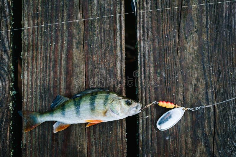 Ψάρια, κουτάλι πέρκα στους γάντζους Σε ένα καφετί ξύλινο υπόβαθρο fishi στοκ εικόνα
