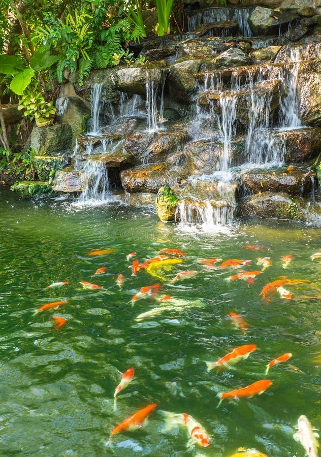 Ψάρια κυπρίνων Koi στη λίμνη του βοτανικού κήπου Phuket στοκ εικόνες