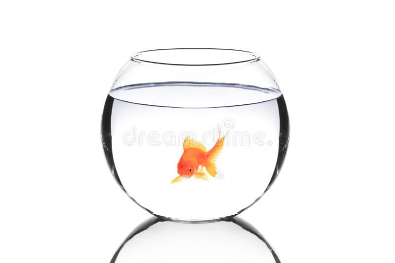 ψάρια κύπελλων χρυσά στοκ φωτογραφία με δικαίωμα ελεύθερης χρήσης