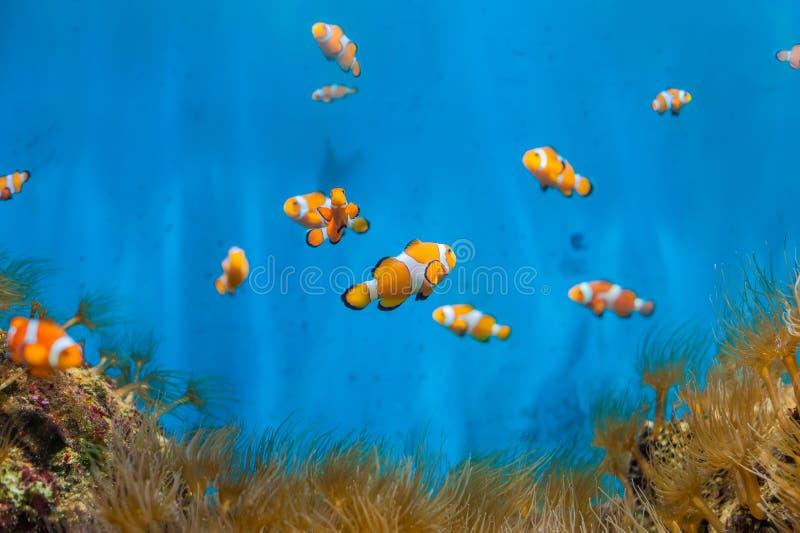 Ψάρια κλόουν και anemones σε ένα μπλε υπόβαθρο στοκ εικόνα